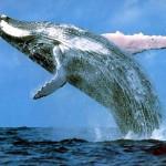 Caribbean Whale